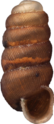 Truncatellina cylindrica